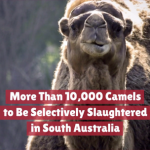 Thousands Of Camels Will Be Killed